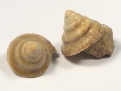 Amphitrochus duplicatus Jura FR 1,3+cm