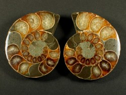 Ammonite cut polished paired Cretaceous MG 3,5+cm (x2)