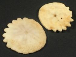 Heliophora orbiculus Pliocene MA 2+cm