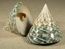Tectus pyramis poliert 5+cm