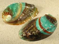 Haliotis discus hannai 7,5+cm