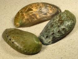 Abalone-Art Haliotis asinina 7,5+cm