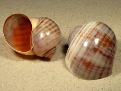 3,5-3,9 - Pomacea paludosa gestreift