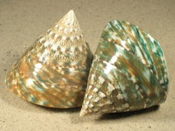 Tectus pyramis poliert VN 7+cm