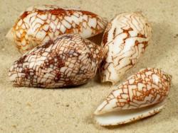 Conus pennaceus MG 3+cm