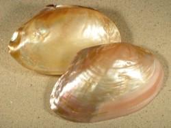 Cristaria sp. *Rosé* 1/2 Perlmutt 11+cm