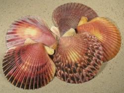 Argopecten purpuratus 1/2 CL 8+cm