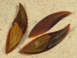 Harpago chiragra Operculum PH 4+cm