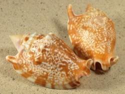 Euprotomus bulla PH 6+cm