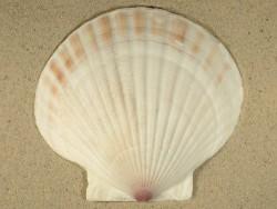 Patinopecten yessoensis 1/2 tief 13+cm