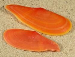 Pharaonella rostrata PH 5+cm