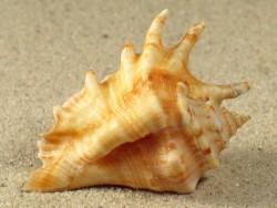 Lambis adamii w/O PH 3,7+cm
