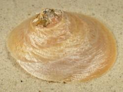 Onustus indicus PH 7+cm