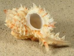 Chicomurex problematicus PH 5+cm