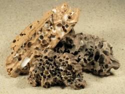 Teredo navalis Bohrlöcher FR-Mittelmeer in 5+cm Holz