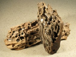 Teredo navalis Bohrlöcher FR-Mittelmeer in 10+cm Holz