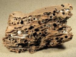 Muschel Teredo navalis Bohrlöcher FR-Mittelmeer in 15+cm Holz