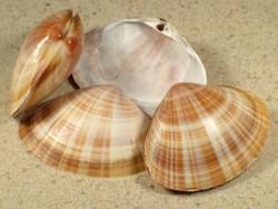 Mactra glauca FR-Mittelmeer 5+cm