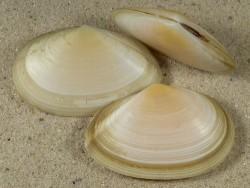 Peronaea planata FR-Mittelmeer 5+cm