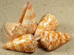 Conus tessulatus 3,5+cm