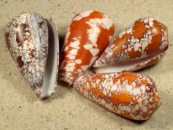 Conus behelokensis MG 3,5+cm