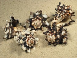Vasum turbinellus PH 3+cm