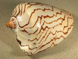 Cymbiola nobilis 16+cm
