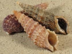 Cerithium vulgatum FR-Mittelmeer 4+cm