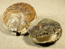 Ostrea edulis FR-Mittelmeer 6+cm