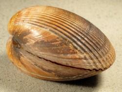 Laevicardium oblongum FR-Mittelmeer 7+cm