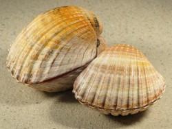 Acanthocardia aculeata FR-Atlantik 6+cm