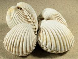 Acanthocardia tuberculata *weiß* FR-Mittelmeer 4+cm