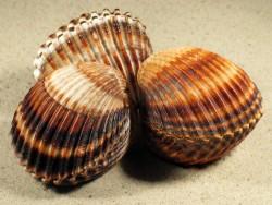 Acanthocardia tuberculata *braun* FR-Mittelmeer 5,5+cm