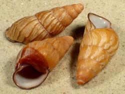 Hypselostyla camelopardalis PH 4+cm