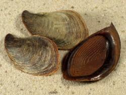 Pleuroploca trapezium Operculum PH 3,5+cm