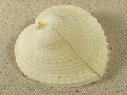 Corculum cardissa PH 5+cm
