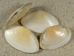 Peronaea planata FR-Mittelmeer 3,8+cm