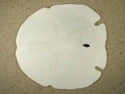 Encope aberrans US 12,5+cm