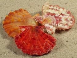 Mirapecten mirificus PH 3+cm