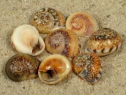 Tritia neritea FR-Mittelmeer 1+cm (x2)