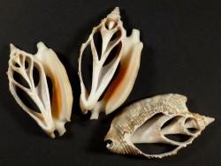 Euprotomus aurisdianae Gehäuseschnitt 4,5+cm