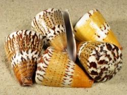 Conus capitaneus 3,5+cm