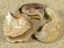 Isognomon dunkeri CV 2,2+cm