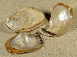 Isognomon dunkeri CV 3,5+cm