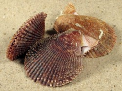 Mimachlamys varia FR-Mittelmeer 3+cm