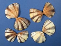 Mexikanische Dämmerungs-Venusmuschel 1/2 3-4,5cm (x2)