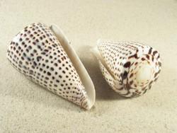Conus leopardus poliert 8,5+cm