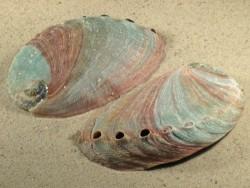 Haliotis rufescens 10+cm