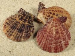 Mimachlamys lentiginosa PH 3+cm