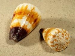 Conus miles 5,5+cm